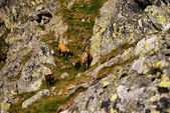 Grazing goats in the Tatra Mountains, Poland — Stock Photo