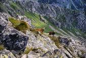 Two mountain chamois look at me. Tatra Mountains — Stock Photo