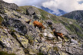 Beautiful surroundings Świnica and wild mountain goats — Stock Photo