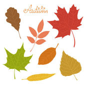 Set of veined autumn leaves isolated on white background.  — Stock Vector