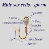 Diagram of the male sex cells - sperm — Stock Vector