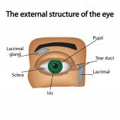 The external structure of the eye. Vector illustration.. — Stock Vector
