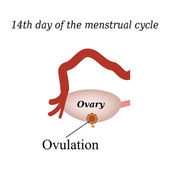14 day of  the menstrual cycle - ovulation. Vector illustration on isolated background — Stock Vector