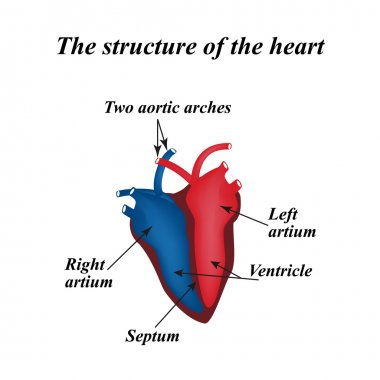 The structure of the heart. Infographics. Vector illustration