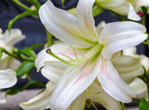 Lily flower closeup — Stock Photo