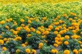 Marigold in Garden — Stock Photo