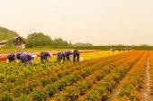 Marigold trädgård — Stockfoto