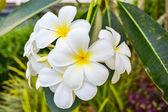 Plumeria (frangipani) flowers on tree — Stock Photo