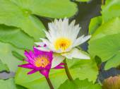 Beautiful pink and white lotuses blooming in the pond — Stock Photo