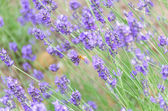 Lavender closeup with a bee — Stock Photo
