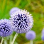 Allium hollandicum flower — Stock Photo #53868517