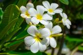 Plumeria (frangipani) flowers on tree — Stock Photo