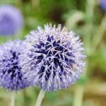 Allium hollandicum — Stock Photo #53925125