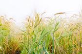 Hordeum distichon  plant — Stock Photo