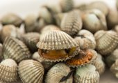Cockle shells — Stock Photo