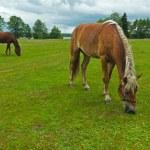 Horses grazing meadow — Stock Photo #54989545