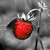 Wild strawberry close up — Stock Photo