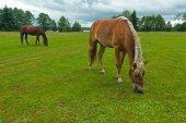 Horses grazing meadow — Stock Photo