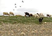 Flock sheep goats grazing — Stock Photo