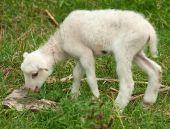 Lamb — Zdjęcie stockowe