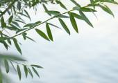 Green willow branch — Foto Stock