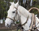 White horse bridle — Stock Photo