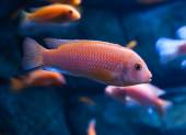 Tropical fish — Stock Photo