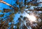Soleil de forêt de pin — Photo