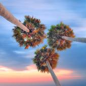 Three high palm trees shot from below  — Foto de Stock