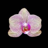 Pink orchid flower isolated on black — Stock Photo