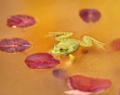 Nature background, frog in the pond — Stock Photo