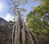 Preah Khan Temple ancient tree roots, Angkor — Stock Photo
