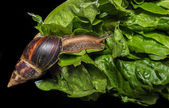 Giant African land snail (Achatina fulica) eating salad, isolated on a black background — Stock Photo