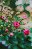 Small pink roses in the garden over green leaves — Stock Photo