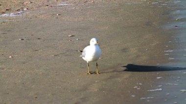 Seagull beach — Stok video