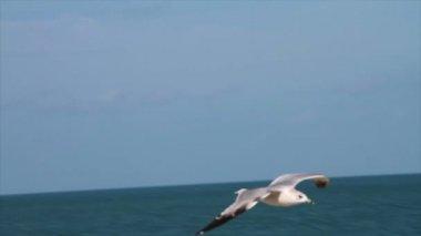 Uçan martı — Stok video