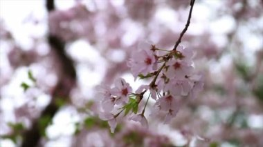Cherry Blossoms — Video Stock