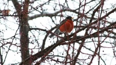 Red Robin on Tree — Stock Video