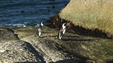 Penguins on Rocks by Ocean — Stockvideo