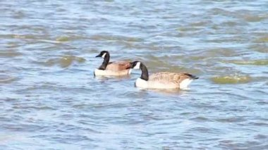 Gooses Swimming Down River — Stockvideo
