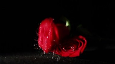 Wet roses falling in Slow Motion — Stock Video