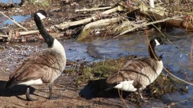 Gooses Going Into River — Stockvideo