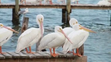 White Pelicans — Stock Video