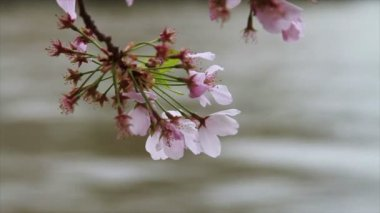 Cherry Blossoms in Washington DC — Stock Video