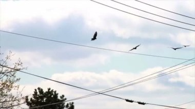 Vultures Flying above House Roof — Stok video
