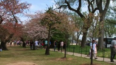 People looking at the Cherry Blossoms — Stock Video