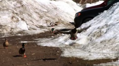 Duck Flying And Landing By River — Stock Video