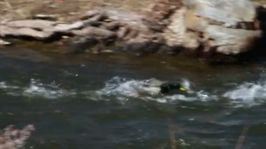 Ducks by Fast Moving River — Stock Video