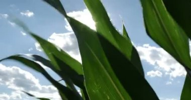 Cornfield Blowing in the Wind — Stock Video