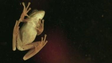 Green Tree Frog — Stock Video